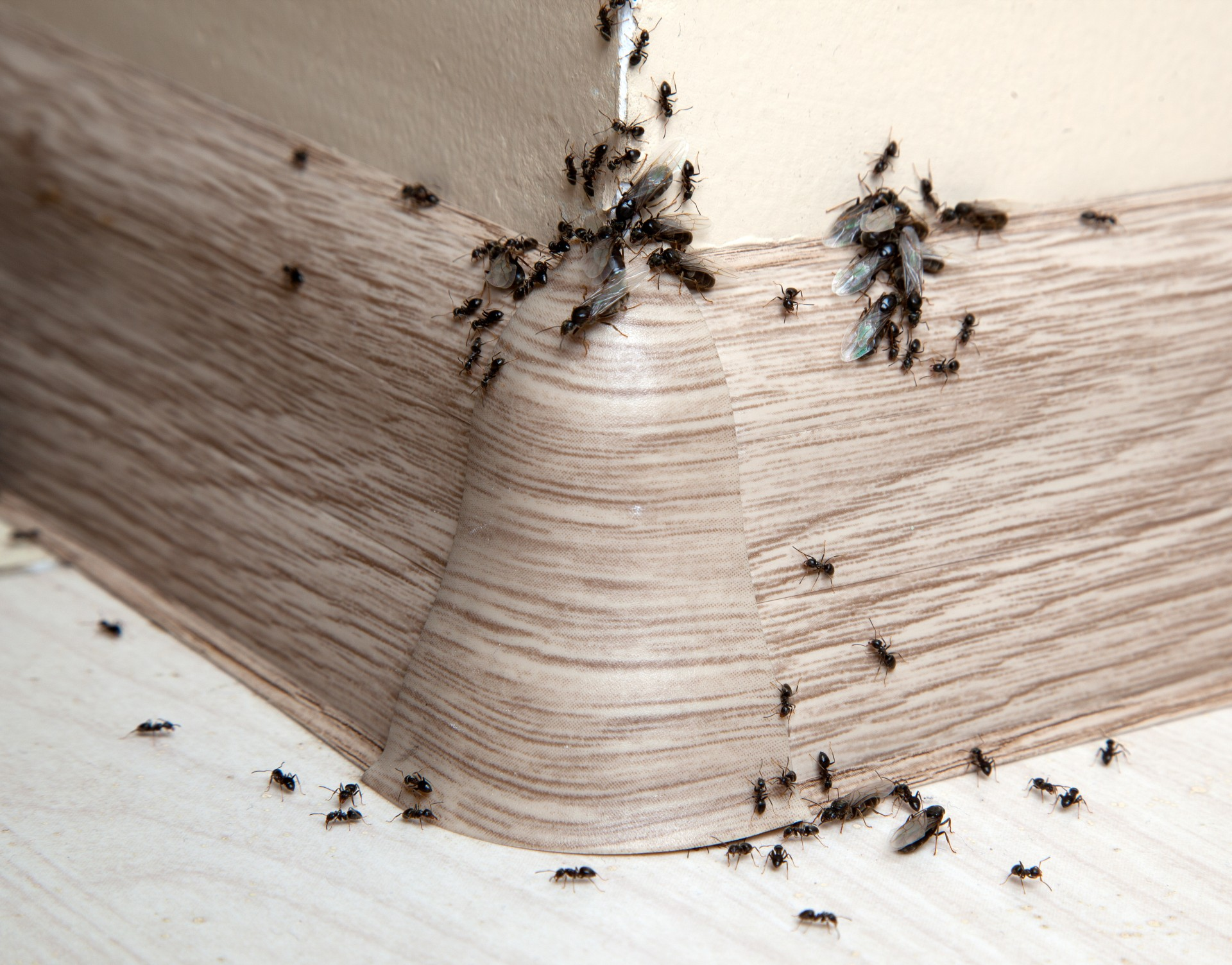 Ant Infestation, Pest Control in Great Bookham, Little Bookham, KT23. Call Now 020 8166 9746