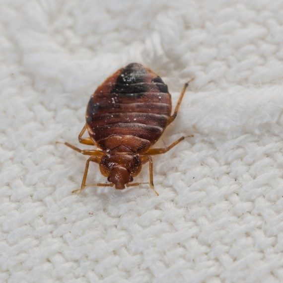 Bed Bugs, Pest Control in Great Bookham, Little Bookham, KT23. Call Now! 020 8166 9746