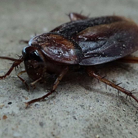 Cockroaches, Pest Control in Great Bookham, Little Bookham, KT23. Call Now! 020 8166 9746