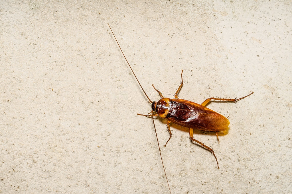 Cockroach Control, Pest Control in Great Bookham, Little Bookham, KT23. Call Now 020 8166 9746