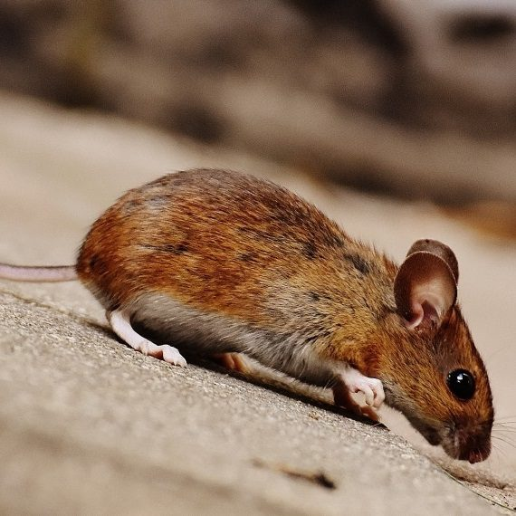 Mice, Pest Control in Great Bookham, Little Bookham, KT23. Call Now! 020 8166 9746