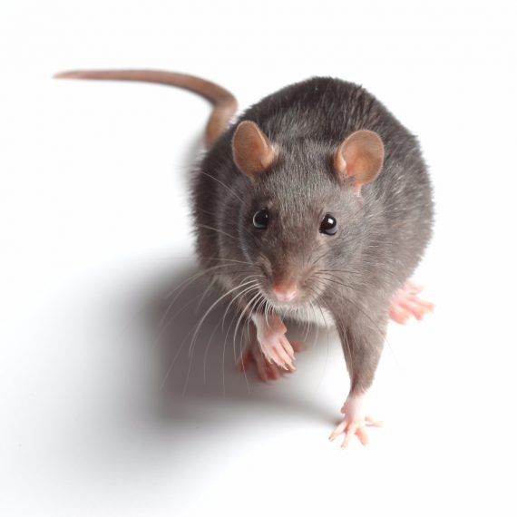 Rats, Pest Control in Great Bookham, Little Bookham, KT23. Call Now! 020 8166 9746